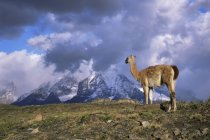 Guanaco and Cuernos del Paine on background — Stock Photo