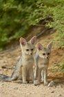 Два мис лисиць, комплекти — стокове фото
