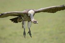 Ruppells griffon vulture landing — Stock Photo