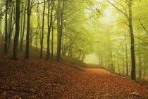 Бук Лісовий і вранці туману — стокове фото