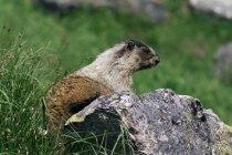 Marmotte des Rocheuses sur rocher — Photo de stock