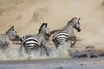 Common zebras crossing Mara River — Stock Photo