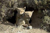 Два щенки справжня сіра лисиця — стокове фото