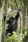 Молодые горные гориллы, играя в деревьях — стоковое фото