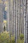 Aspen grove com início as cores do outono — Fotografia de Stock