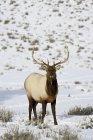 Alci del Bull su campo coperto di neve — Foto stock