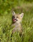 Лисиця руда, лисиця fulva kit — стокове фото