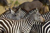 Общие зебр, Burchells зебры — стоковое фото