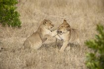Filhotes de Panthera leo jogando — Fotografia de Stock