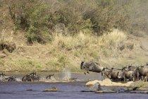 Стадо антилоп гну голубой — стоковое фото