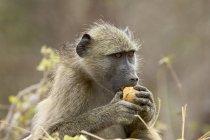Chacma baboon eating — Stock Photo