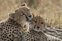 Гепардів, мати і дитинча — стокове фото