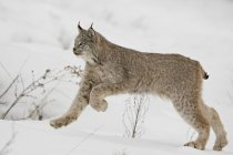 Canadian lynx in snow — Stock Photo
