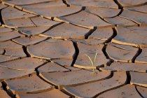 Schlamm knackt mit Pflanzen sprießen — Stockfoto