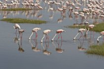 Lesser flamingos, Phoeniconaias minor — Stock Photo
