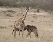 Baby Masai giraffe nursing — Stock Photo