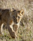 Lion, Panthera leo cub — Foto stock