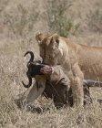 Lioness dragging Blue Wildebeest — Stock Photo