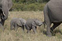 Young African elephants — Stock Photo