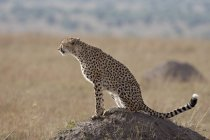 Cheetah sitting on old termite mound — Stock Photo