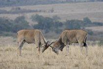 Dois machos Elande sparring — Fotografia de Stock