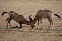 Zwei männliche rote Hartebeests sparring — Stockfoto