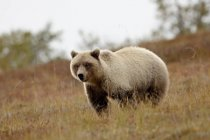 Grizzly bear in field — Stock Photo
