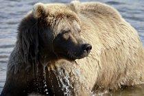 Brown Bear in Moraine Creek — Stock Photo