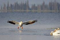 Pélican d'Amérique d'atterrissage — Photo de stock