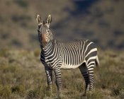Cape mountain zebra stallion — Stock Photo