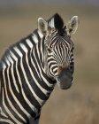Zèbre commun au Parc National du Mont Zebra — Photo de stock