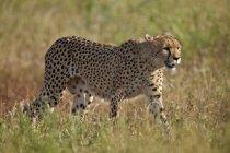 Cheetah in green field — Stock Photo