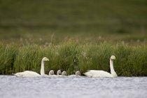 Cygnes et quatre petits cygnes nageant — Photo de stock