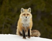 Red Fox in snow — Stock Photo