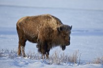 Side view of Bison in snow — Stock Photo