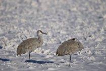 Two sandhill cranes — Stock Photo