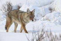 Coyote dans la neige en hiver — Photo de stock