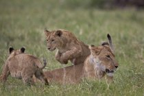 Lions, Panthera Leo cubs playing — Stock Photo