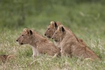 Lions, Panthera Leo cubs — Stock Photo