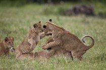 Leones, cachorros de Panthera Leo jugando - foto de stock