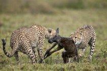 Два мужчины гепарды убийство ГНУ — стоковое фото