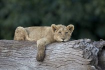 Lion, cub Panthera leo — Photo de stock
