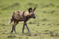 Африканських дикі собаки в зеленому полі — стокове фото