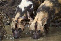 Cani selvaggi africani acqua potabile — Foto stock