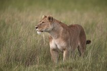Lion, Panthera leo — Stock Photo