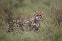 Cheetah cub in tall grass — Stock Photo