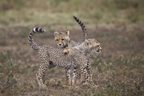 Guépards, Acinonyx jubatus oursons — Photo de stock