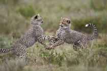Cheetahs, Acinonyx jubatus cubs — Stock Photo