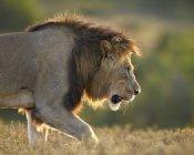 Lion, Panthera leo — Stock Photo