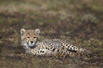 Гепард дитинча лежить на траві — стокове фото